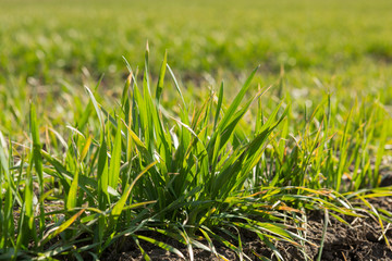 green sprouts of young winter wheat in spring