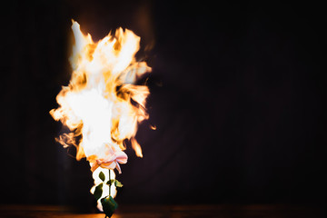 Flaming bloom Burning rose, hot love concept