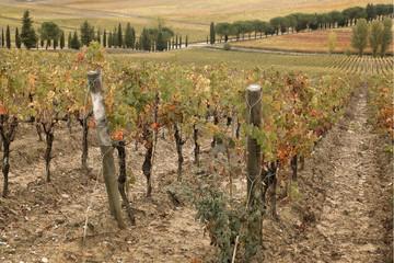 Viti Uva Toscana Chianciano Terme Italia