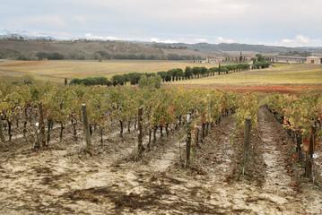 Viti Uva Toscana Chianciano Terme Italia Vino