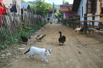 Traditional Laos village view with livestok, goose, chicken and a cat. Near Luang Prabang in northern Laos
