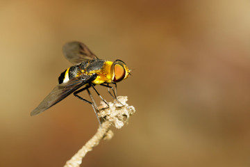 Image of bee flies or bombylius major on natural background. Insect. Animal.