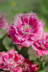 Pink tulip Mascotte