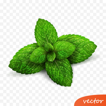 3d realistic isolated vector sprout of fresh mint leaves with drops of dew