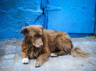 Sad street dog lying in front of blue wall in Essaouira medina, Morocco