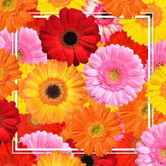 Colorful gerbera flowers with frame. Spring background.