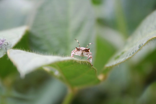 Brown Marmorated shield bug on soybean leaf on plant. Halyomorpha halys insect infestation in the soybean field