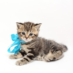 striped  kitten Scottish straight on white background