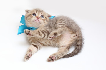 striped  kitten Scottish fold on white background