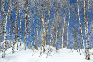 Frost covered birch trees in blue sky winter background on the top of Causasus mountains in Mestia, Svaneti (Svanetia) region of Georgia