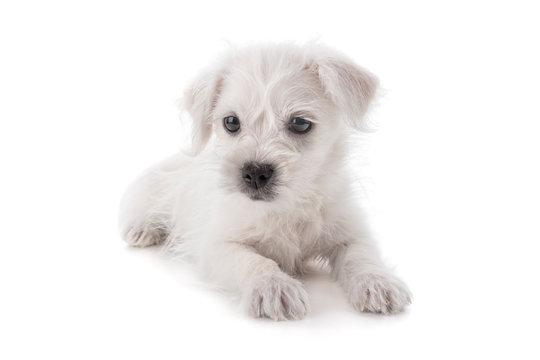 Maltese Westie puppy dog isolated on white background