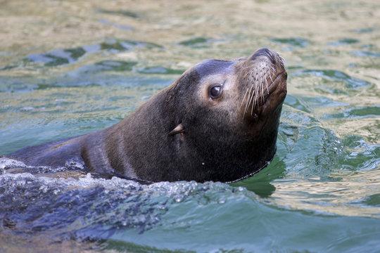 Male Californian sea lion swimming