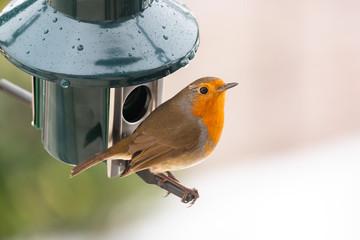 A robin on a bird feeder in the snow