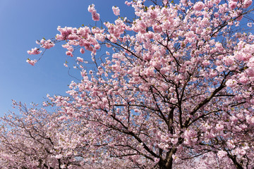 Branches of a blooming almond tree in early spring