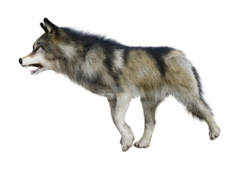 3D Rendering Gray Wolf on White