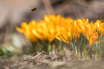 Yellow crocus flowers in a flowerbed at springtime