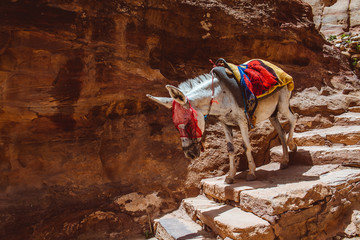Mule at Petra Mountains in Jordania
