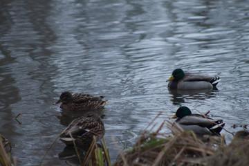 Fototapeta cztery kaczki w stawie zimą obraz