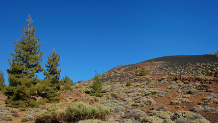 Endemic vegetation at Teide National Park, the unusual landscape of Montaña Samara, with views towards Pico del Teide, Pico Viejo, Las Cuevas Negras and open pine forests, Tenerife, Canary Islands