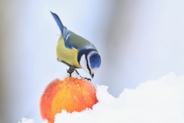 Cute eurasian blue tit sitting on the apple. Wildlife scene from nature. Song bird in the winter. Parus caeruleus.