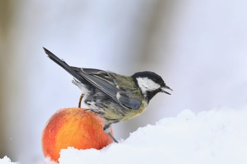Great tit sitting on the apple. Wildlife scene from nature. Song bird in the winter. Parus major.