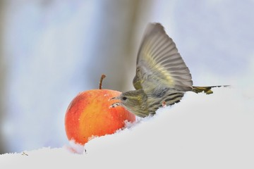 Eurasian siskin in snow. Songbird in wibnter. Carduelis spinus. song bird in the nature habitat. wildlife scene from nature.