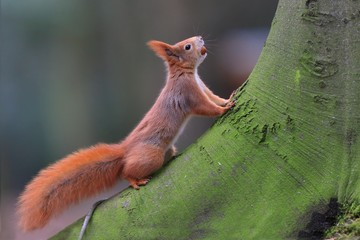Art view on wild nature. Cute red squirrel with long pointed ears in autumn scene with nice deciduous forest in the background. Wildlife in November forest. Squirrel in habitat. Sciurus vulgaris