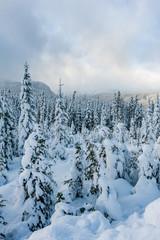 Snow covered evergreen trees on Mount Washington, Strathcona Provincial Park, British Columbia, Canada