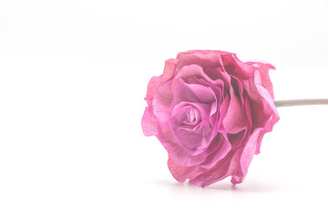 Pink rose in isolate white background.Soft pink flower color.