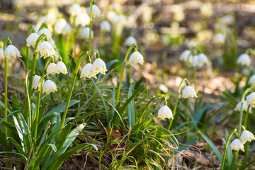 blooming spring snowflakes. first flowers on a forest glade during springtime. Beautiful and tender plant.