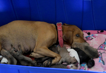 A female dog who was rescued is seen with its new puppies after a dam owned by Brazilian mining company Vale SA collapsed, in Brumadinho