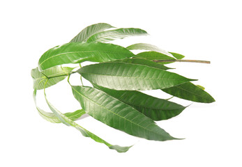 Branch of mango tree with green leaves on white background