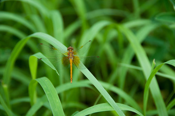 Brown dragonfly in green grass