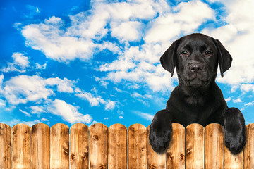 Black labrador puppy looking over a wooden fence