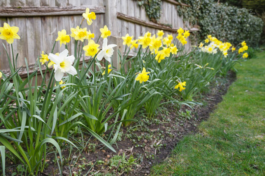 Yellow and white daffodils