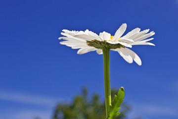 Margeritenblume aus der Froschperspektive