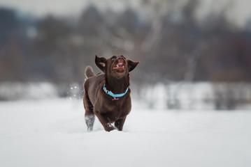 Funny running labrador