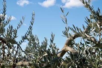 foglie e rami di ulivo con cielo azzurro