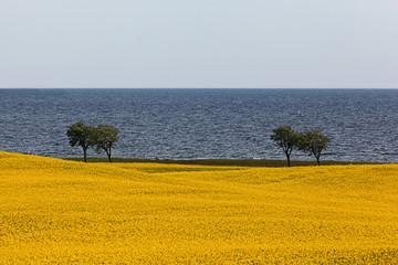 Rapeseed Field by the Ocean with Horizon in Osterlen Sweden
