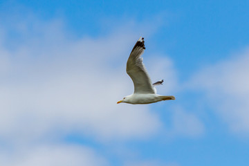 White adult live seagull flies against the blue sky with white clouds in the afternoon Fototapete