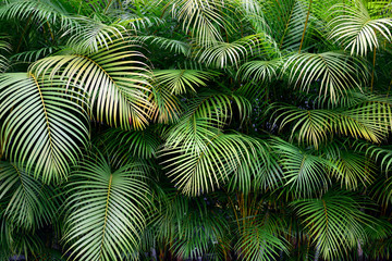 Wall of green tropical palm frond leaves with exotic shapes and textures in Colombia, South America.