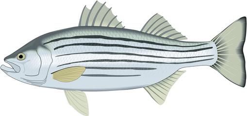 Striped Bass Vector Illustration