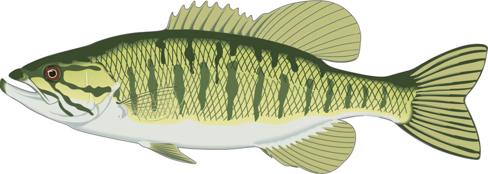 Small Mouth Bass Vector Illustration