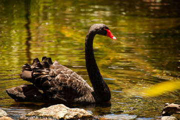 Large black swan with a red beak