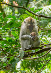 Long tailed macaque in sacred monkey forest in Ubud,Bali,Indonesia