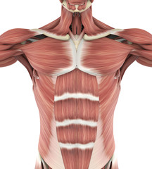 Upper Anterior Muscles Anatomy
