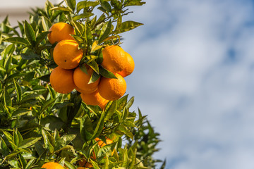 Oranges on a Tree in Italy