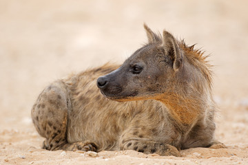 A spotted hyena (Crocuta crocuta) resting, Kalahari desert, South Africa.