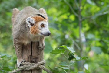 Lemur or Monkey balancing on a tree