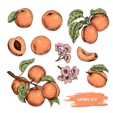 Vector apricots hand drawn sketch with flowers.  Sketch vector  food illustration. Vintage style